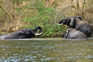 Elephants at Murchison Falls National Park. (Tom McShane Photography)